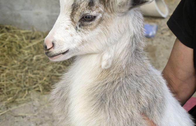 Cameroon Dwarf Goat Al Uehre 1