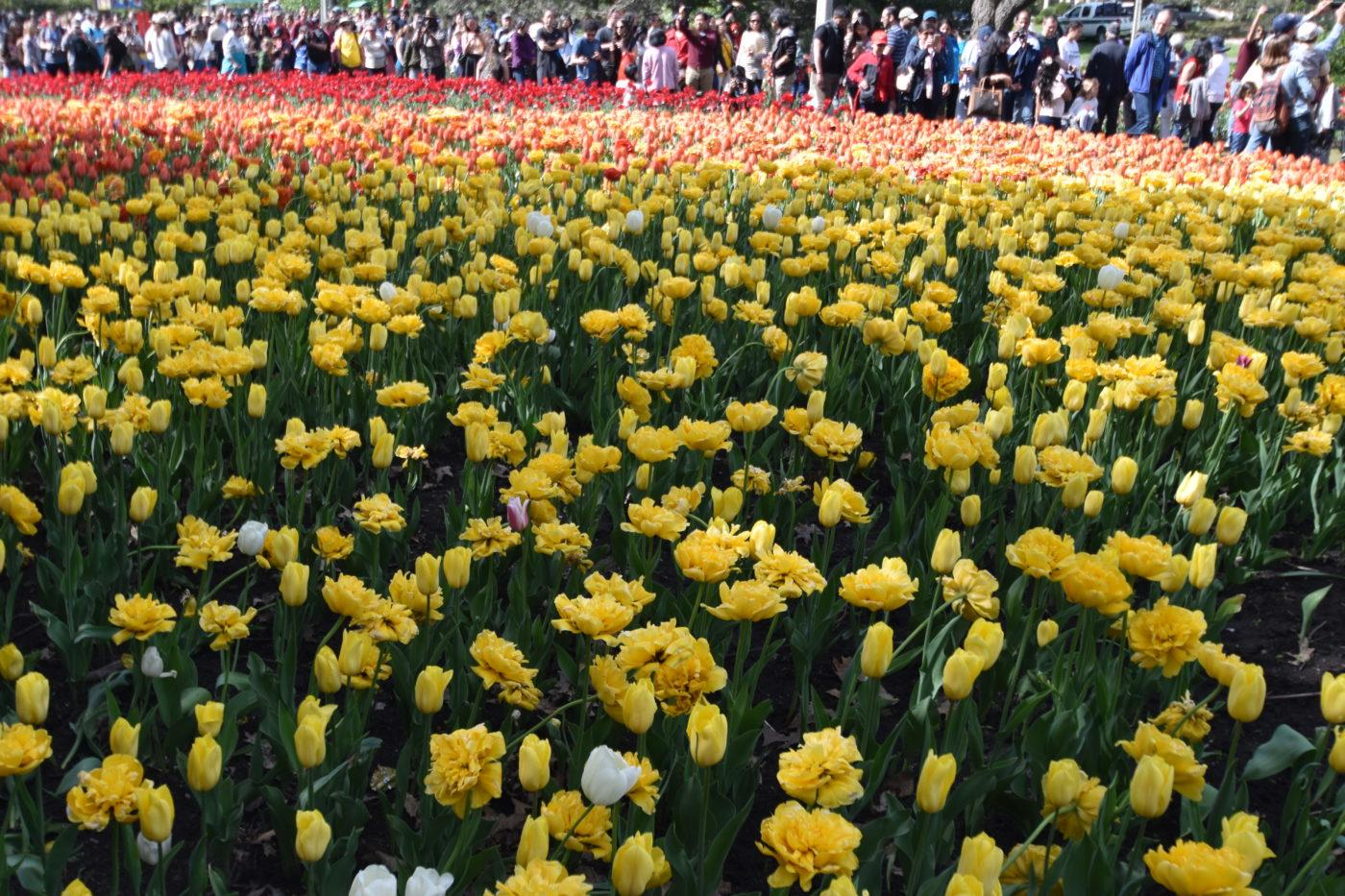 Field of Tulips with visitors