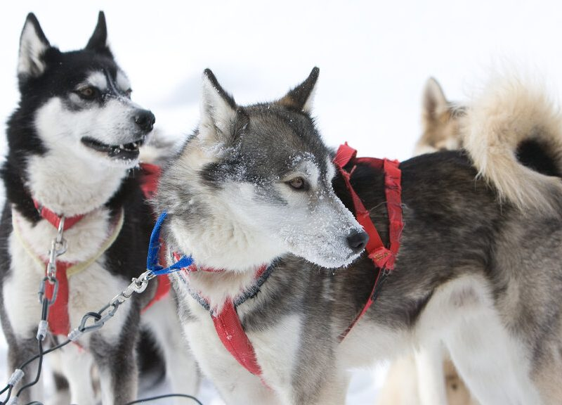 rsz 1dogsledding in haliburton 16